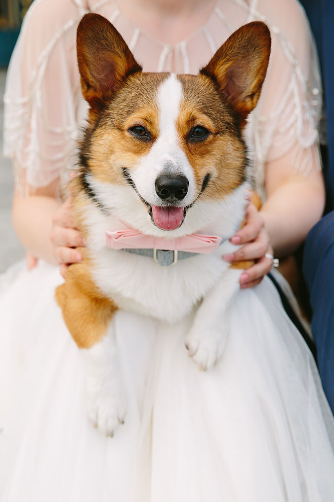 San Francisco wedding photographer, corgie dog at San Francisco City Hall