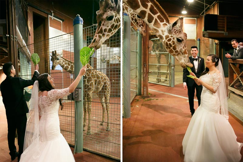 Bride and groom feeding giraffes at the San Francisco Zoo